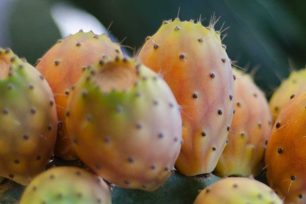 Why are prickly pears prickly? © iStock