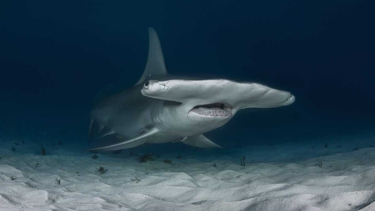Why have hammerhead sharks evolved their distinctive heads? © iStock