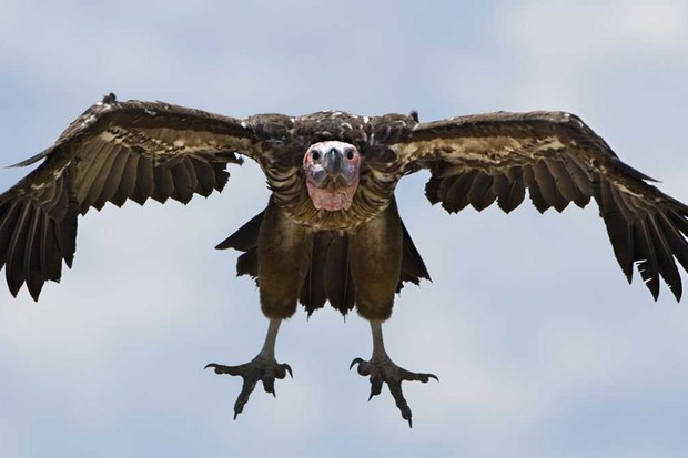 Lappet-faced vulture © Getty Images