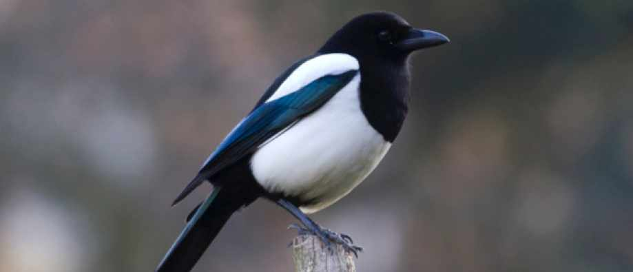 Do magpies really steal shiny objects?