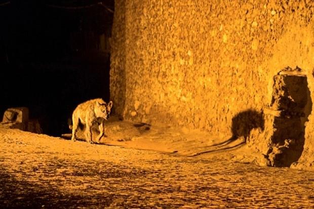 Hyenas in Harar © BBC