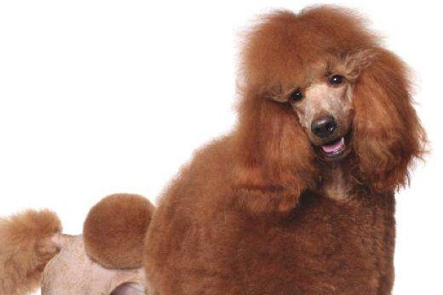 Poodle © iStock