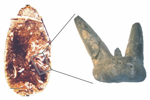 The tooth in coprolite and up-close © Aodhán Ó Gogáin (Trinity College Dublin)