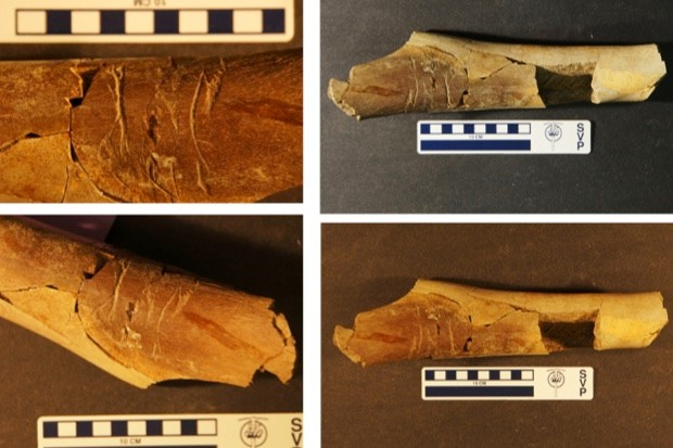 A tyrannosaur bone with peculiar teeth marks, strongly suggesting it was gnawed by another tyrannosaur © Matthew McLain