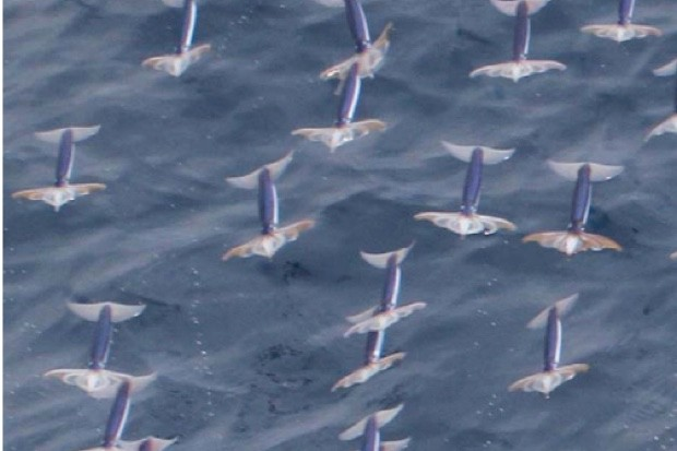 Shoal of squid gliding in the air © Kota Muramatsu/Hokkaido University