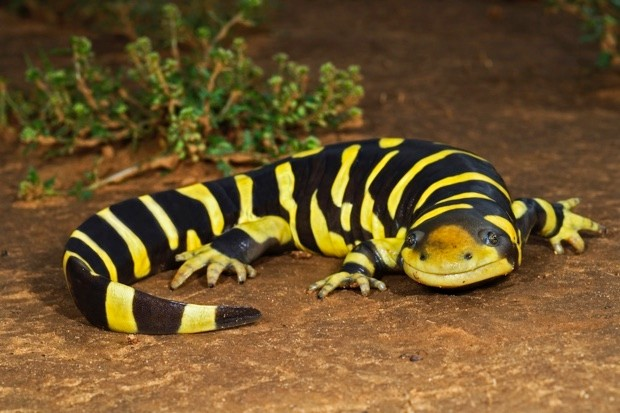 Tiger salamanders © Getty Images
