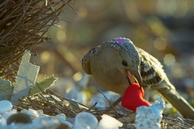 Bowerbird bling © BBC