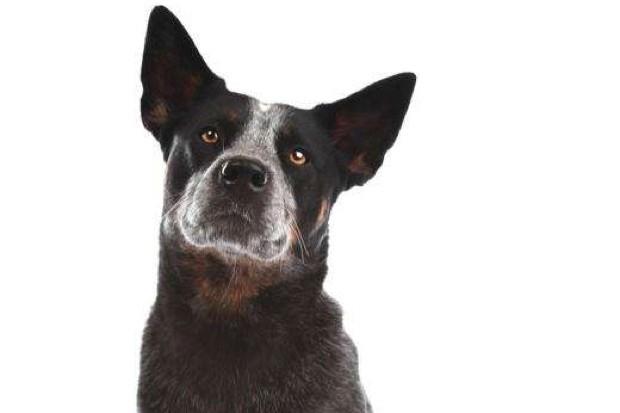 Australian cattle dog © iStock