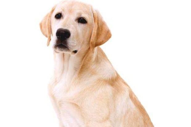 Labrador retriever © iStock
