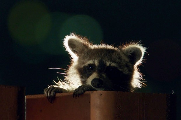 Crafty raccoons © BBC