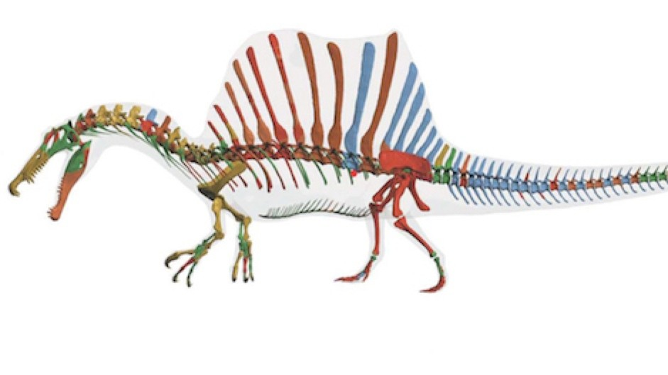 Behold the Spinosaurus: the world's first known swimming dinosaur © Tyler Keillor, Lauren Conroy, Erin Fitzgerald, Ibrahim et al., Science/AAAS