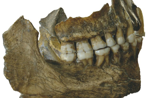 Analysis of DNA in Neanderthal tooth tartar suggests they may have chomped medicinal plants © Royal Belgian Museum Of Natural Sciences