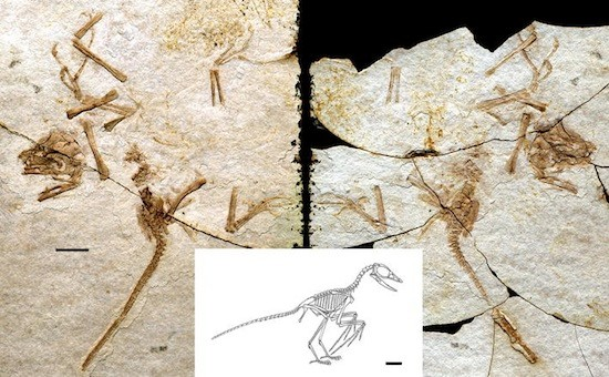 The fossiled remains of Scansoriopteryx and a reconstruction showing what a full skeleton would look like