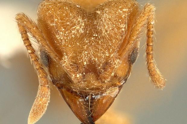 This is the head of the new species, Sericomyrmex radioheadi © Ana Ješovnik