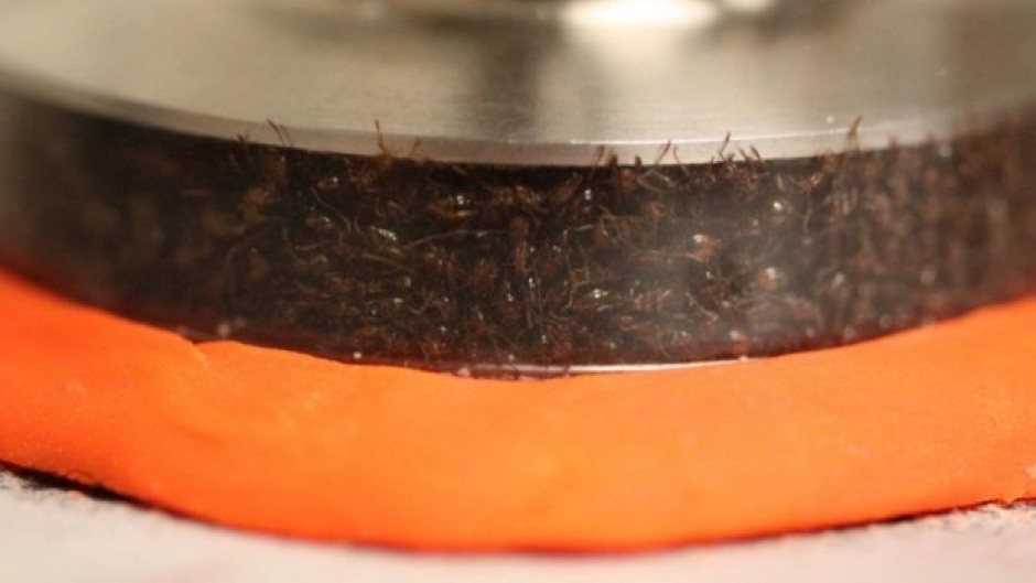 Ants in a rheometer (© Georgia Tech)