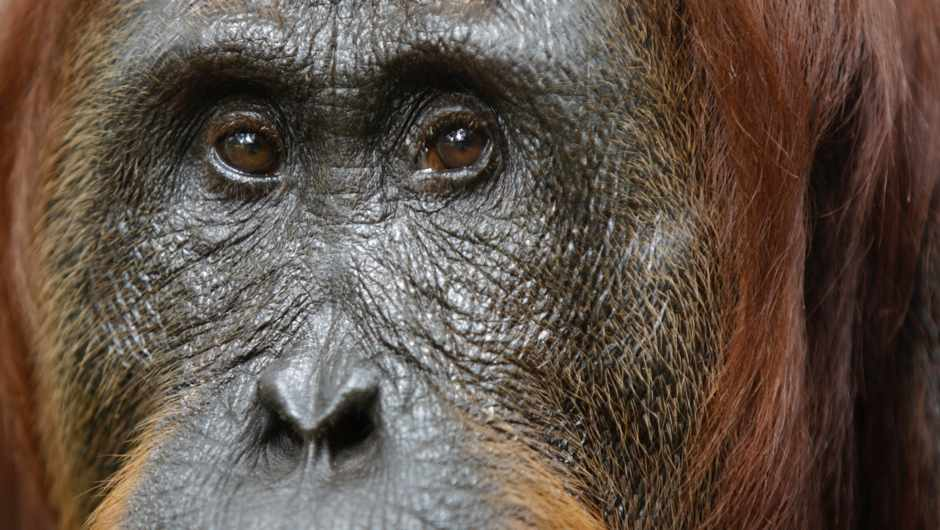 Meet Tilda: the orangutan that's learnt to mimic human speech © Getty Images