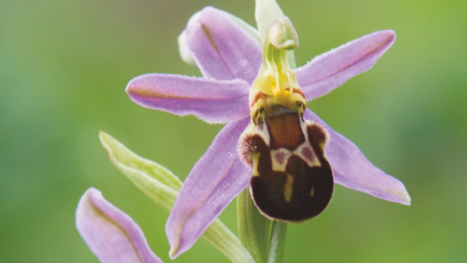 Bee Orchid var. Friburgensis, Ophrys apifera, Somerset, England © Getty Images