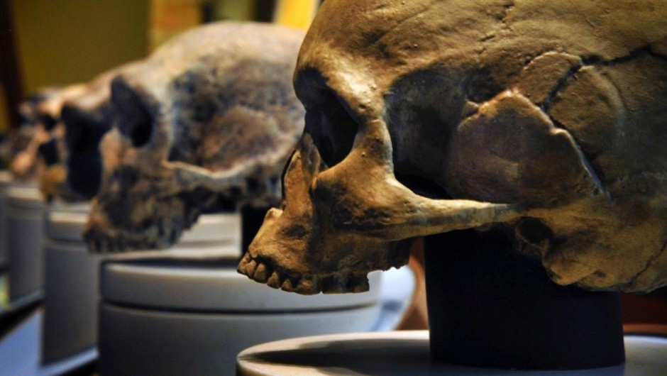 Skulls of Neanderthals and homo sapiens line The Smithsonian Museum of Natural History's Hall of Human Origins, Washington, DC © Bill O'Leary/The Washington Post via Getty Images