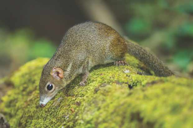 Close up of Common treeshrew(Tupaia glis) in forest of Thailand © Getty Images