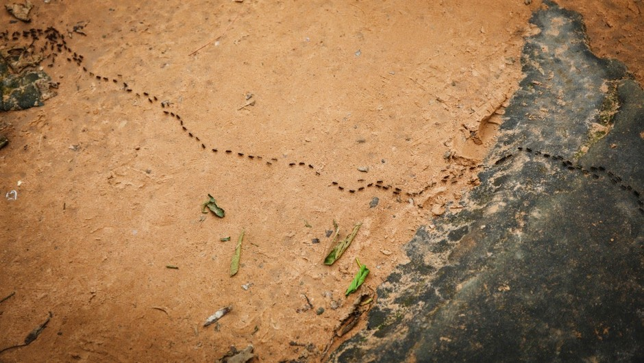 Do ants ever get into 'traffic jams'? © Getty Images