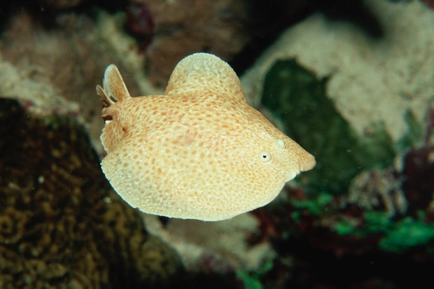 A scalloped torpedo ray, able to generate electricity as a defence mechanism, in the Red Sea © Getty Images