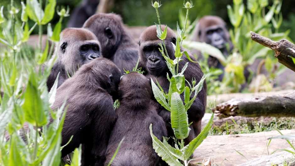 How do gorillas communicate? © Getty Images