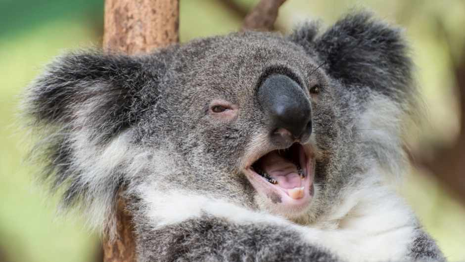 How the koala got its voice © Getty Images