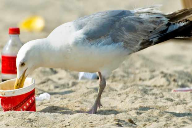 Seagull eating food and the polystyrene container that was left on the beach. This careless waste disposal can kill the bird © Getty Images