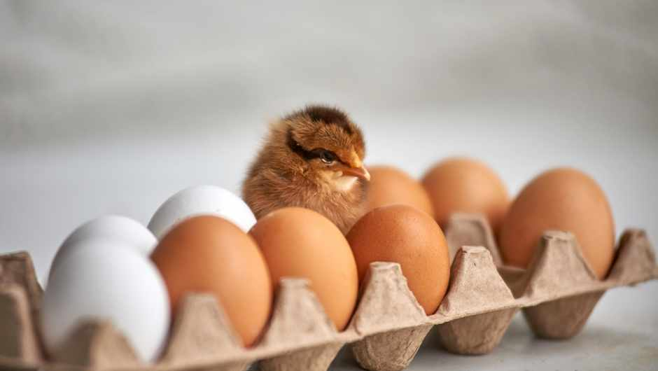 Does evolution explain whether the chicken or egg came first? © Getty Images