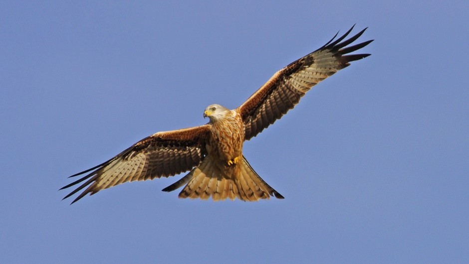 A different kind of tweet: red kites blog their travels © Getty Images
