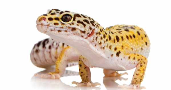 Geckos that can regenerate damaged parts of their brains could help heal humans