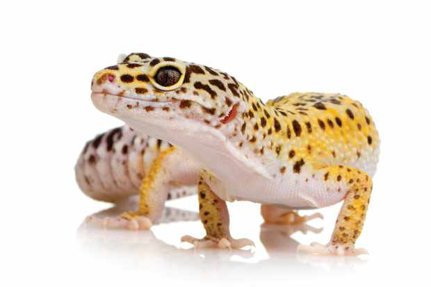 Young Leopard gecko in front of a white background © Getty Images