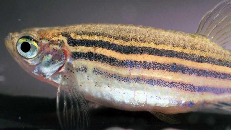 Novel zebrafish research links boldness to body shape © Brian Langerhans