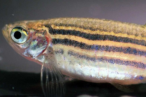 Novel zebrafish research links boldness to body shape © Brian Langerhans