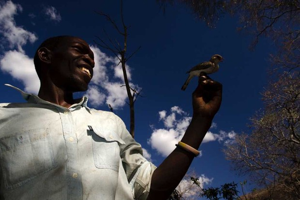 Yao honey-hunter Orlando Yassene holds a wild greater honeyguide female (temporarily captured for research) in the Niassa National Reserve, Mozambique © Claire N. Spottiswoode