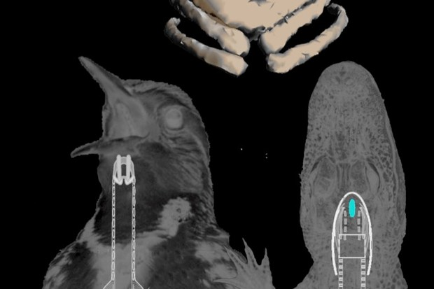 A new study of the first fossil vocal organ from a bird from the Mesozoic provides insight into the evolution of bird calls and song © J. Clarke/UT Austin