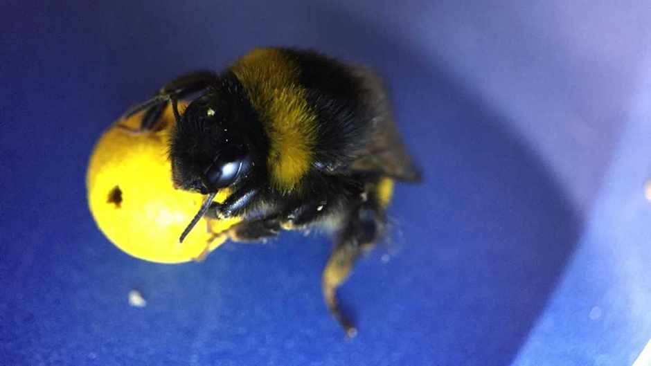 Bumblebees can be trained to score goals using a mini-ball, revealing unprecedented learning abilities, according to scientists at Queen Mary University of London © Iida Loukola/QMUL