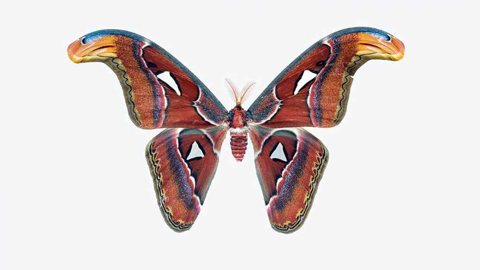 Atlas moth (Attacus atlas) © Robert Clark