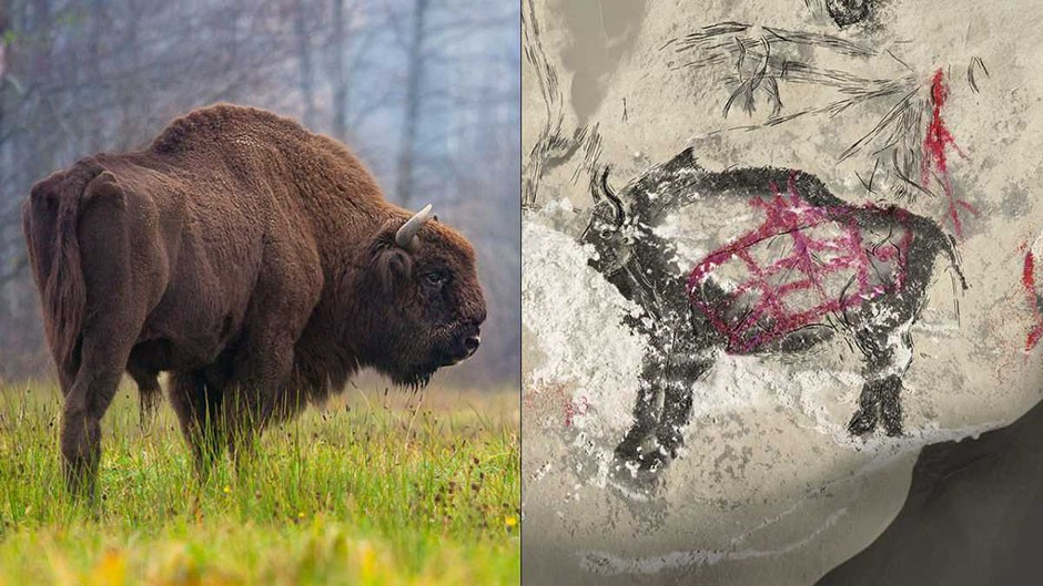 Spot the difference: a Modern European bison (or wisent) and a reproduction of a putative wisent © Rafa Kowalczyk/Carole Fritz