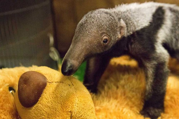 Adorable baby anteater gets helping hug from teddy © ZSL London Zoo