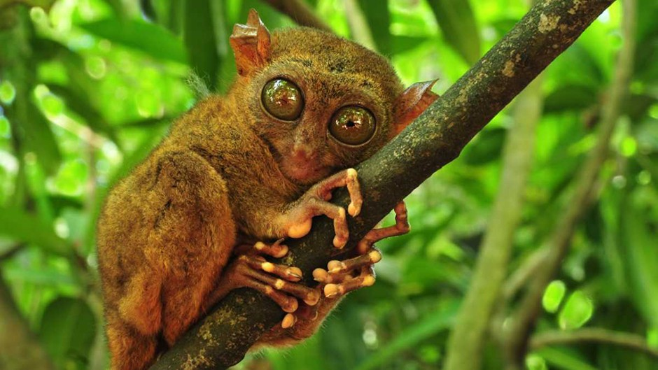 Tarsiers 'distant cousins' of humans © Getty Images