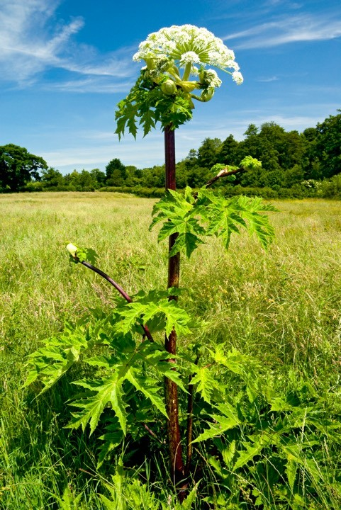 Giant Hogweed (Heracleum mantegazzianum) Usk Valley, Monmouthshire, South Wales © Graham Bell/Getty Images
