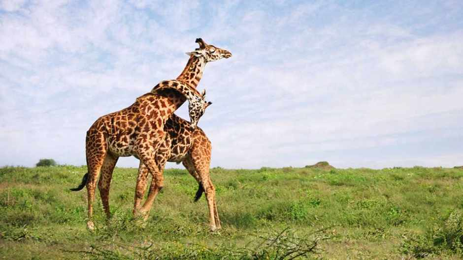 Giraffes' future is much less secure than many people had imagined © David Lazar/Getty Images