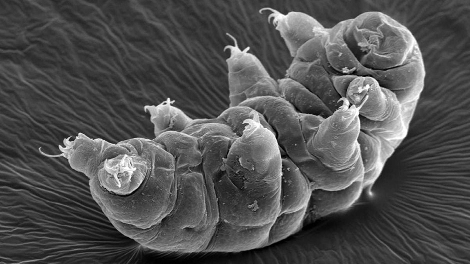 Water bears survive dehydration by turning into glass © Getty Images