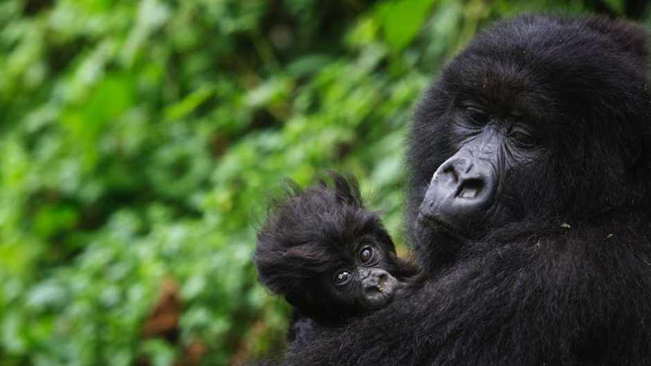 Eastern gorillas have seen a dramatic decrease in population © Piper Mackay/Getty Images