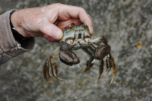 Chinese mitten crab, Eriocheir sinensis, Thames, London, October 2009 © Getty Images