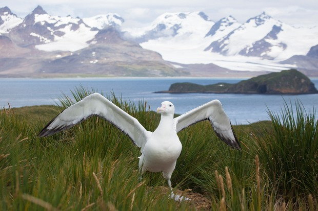 Wandering Albatross in South Georgia © Getty Images