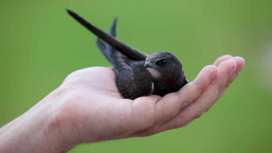 Swifts stay airborne for 10 months straight © Getty Images