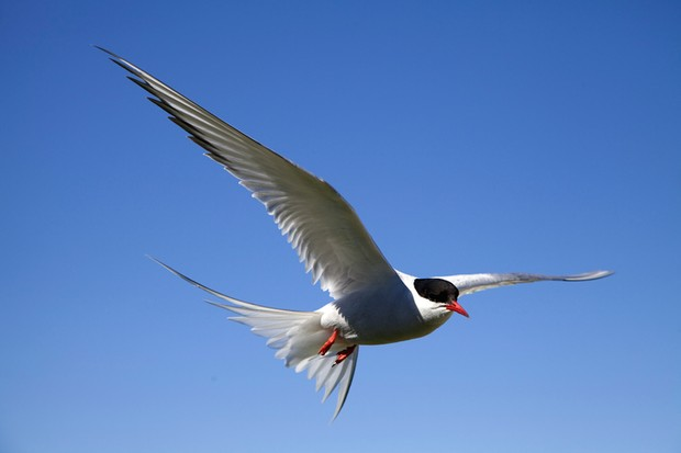 Arctic Tern (Sterna paradisaea) © Getty Images