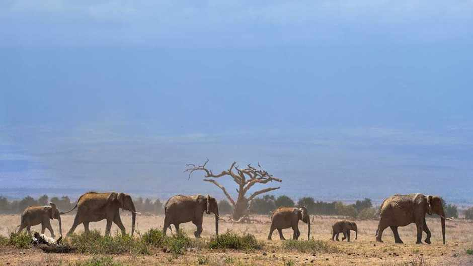 Elephants troop to a water hole at the Amboseli national reserve November 13, 2015 at the foot of Mt. Kilimanjaro © Tony Karumba/AFP/Getty Images